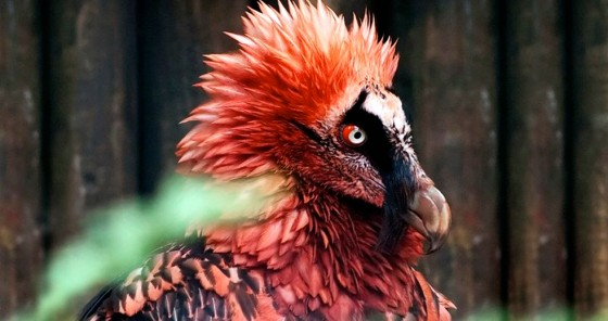 Bearded Vultures: The World's Most Metal Bird